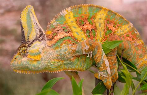 trippy chameleons intimidate rivals with color