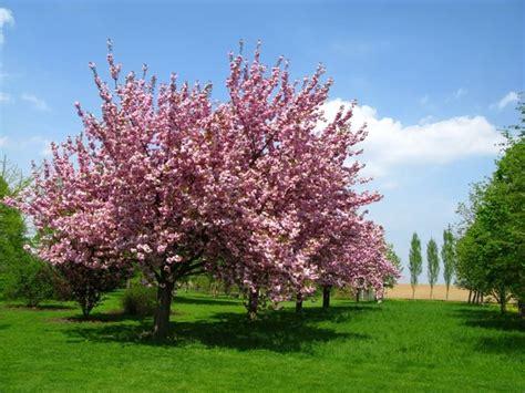 ciliegio da fiore giapponese il ciliegio da fiore alberi coltivare ciliegio