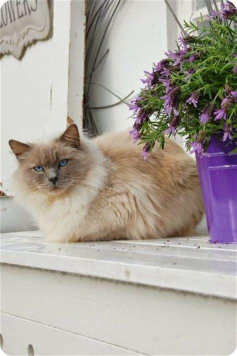 Cottage Cats by Lavender Cottage Cat Floofs Katter Och Djur