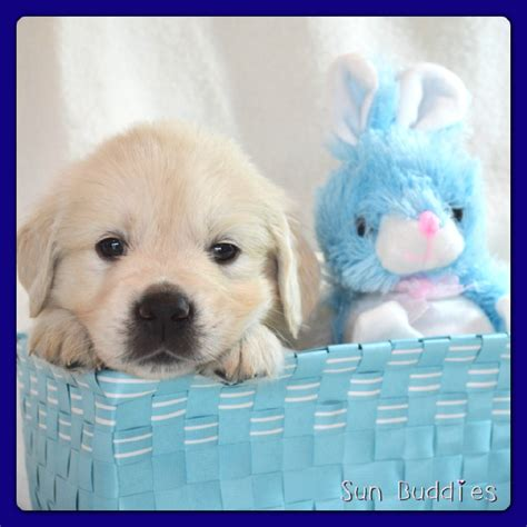 golden retriever breeders pennsylvania golden retriever breeder downingtown pa dogs our friends photo