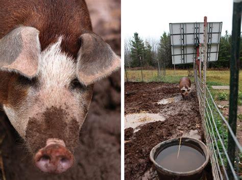 raising backyard pigs raising backyard pigs butchering itty bitty impact