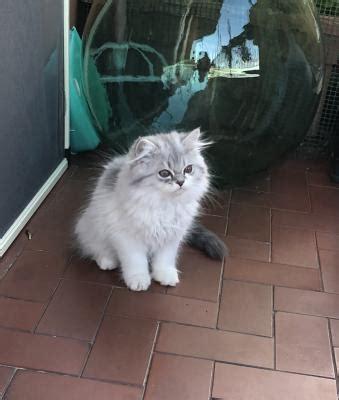 gatti persiani da adottare gatti persiani annunci animali trovacuccioli