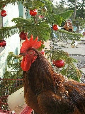 images of christmas roosters christmas cheer is widely spread chickens pinterest