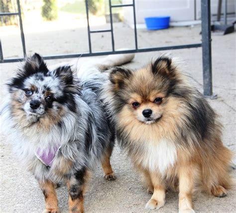 blue merle pomeranian breeders pomeranian blue merle puppy puppies dogs pup blue merle pomeranian