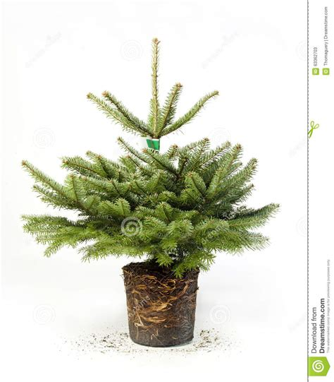 young green christmas tree with roots stock image image