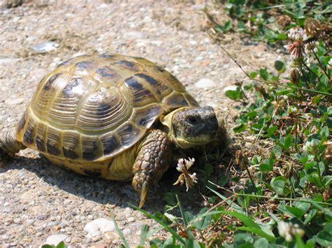 russian tortoises file russian tortoise jpg wikipedia