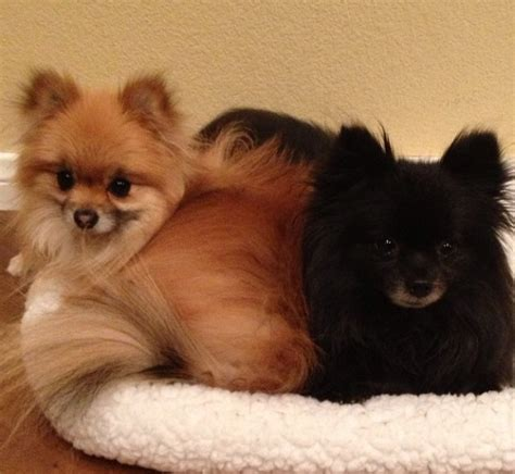 pomeranian how do they live rescuing a pomeranian a gift of