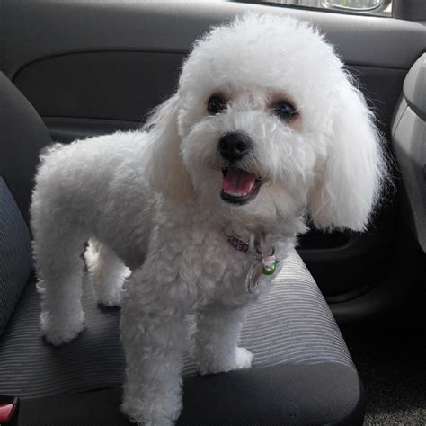 white poodle puppy white poodle puppy www imgkid the image kid has it