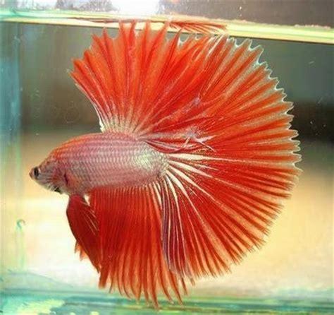 7 Jenis Makanan Ikan Cupang gambar kumpulan aneka ikan cupang hias tercantik
