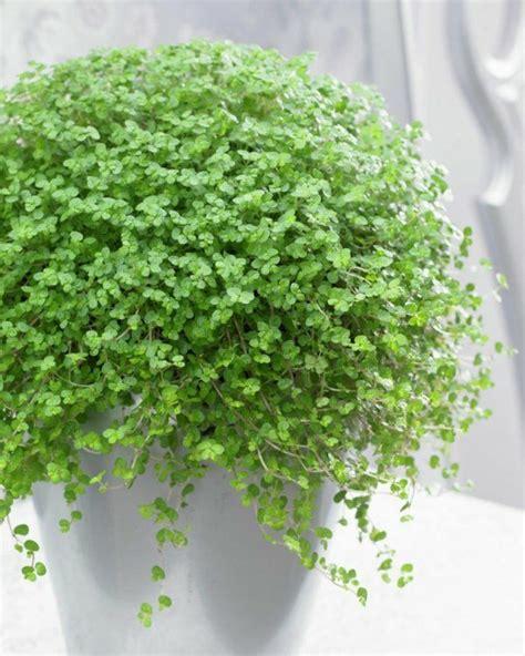 Die Beliebtesten Zimmerpflanzen by Zimmerpflanzen Arten Bilder Den Beliebtesten