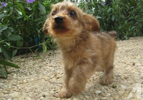 yorkie poo for adoption mini yorkie poo for adoption for sale in san antonio classified
