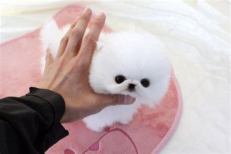 teacup pomeranian for sale montreal beautiful teacup tiny white pomeranian puppy