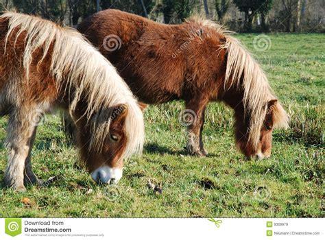 shetland pony stock photos images royalty free shetland shetland ponies royalty free stock images image 9309979