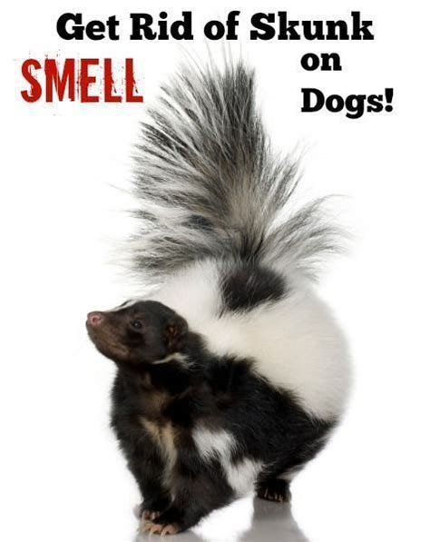 how to get skunk smell out of house and dog 1000 ideas about skunk smell on pinterest skunk smell remover skunks and skunk