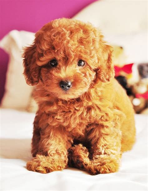 teddy puppy best 20 teddy puppies ideas on teddy dogs small puppies and