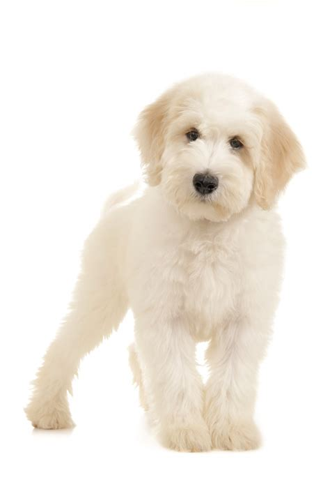 goldendoodle puppy books f2b goldendoodle photo gallery breeds picture