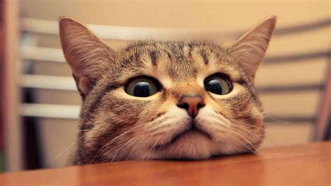 wallpaper kucing bergerak untuk pc gambar animasi lucu kucing terbaru distro dp bbm