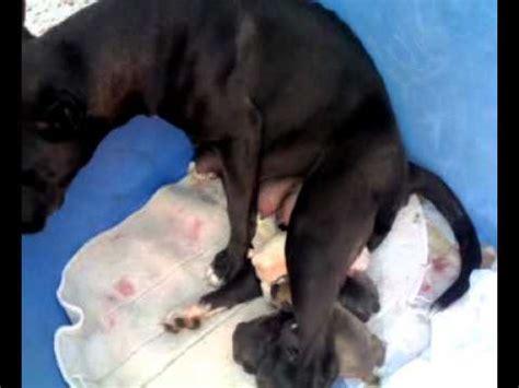 imagenes de animales naciendo shiva parto 11 nace el 7 186 simba perro pit bull terrier