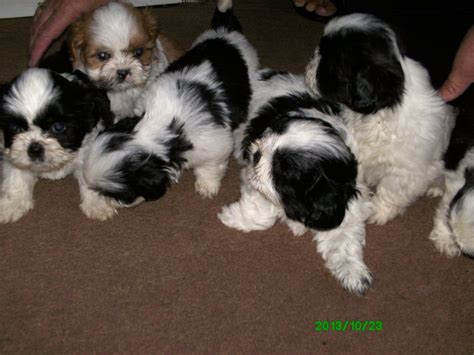shih tzu for sale in kent lovely shih tzu pupppies for sale gravesend kent pets4homes