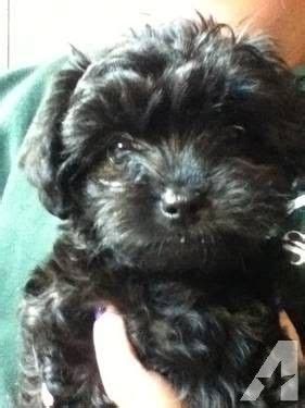 small yorkie poo 17 best ideas about yorkie poo for sale on yorkie puppies yorkie poo