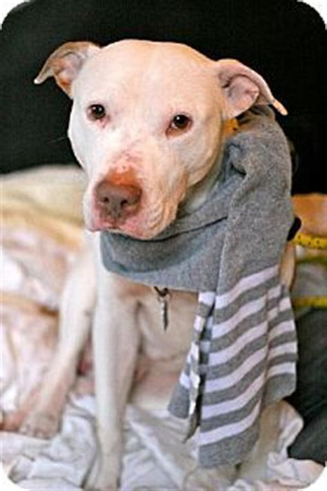 pitbull puppies for adoption in nj 1000 images about adoptable pit bulls on american pit bull terriers and