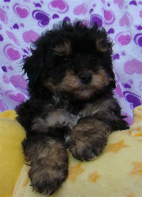 yorkie poo puppies for sale perth for sale silky terrier x tiny poodles non shedding