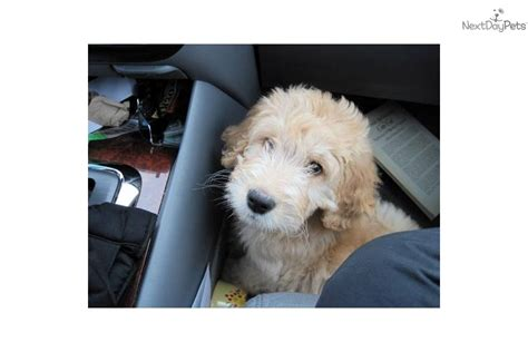 goldendoodle puppy energy goldendoodle puppy for adoption near 43398c75 8972