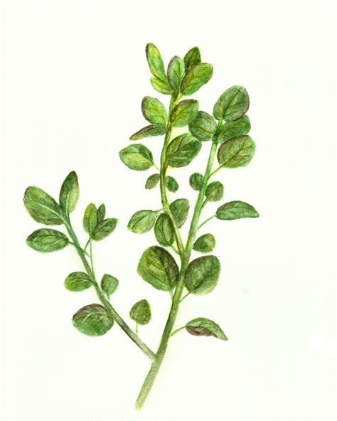 free printable herb poster free herb watercolor printables rosemary and oregano