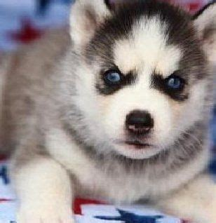 how many puppies can a husky 154 best images about husky pictures on husky huskies puppies and