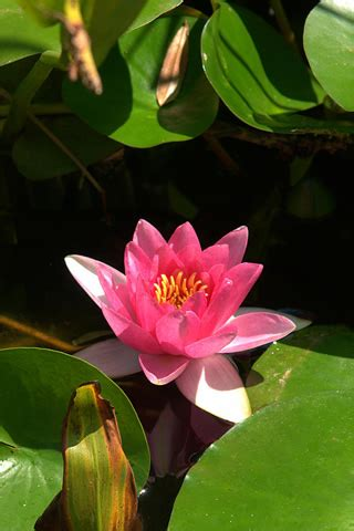 lotus flower touch l iphone pink lotus wallpaper
