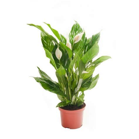 Beliebte Zimmerpflanzen Bilder beliebte zimmerpflanzen sch 246 ne pflegeleichte gr 252 npflanzen