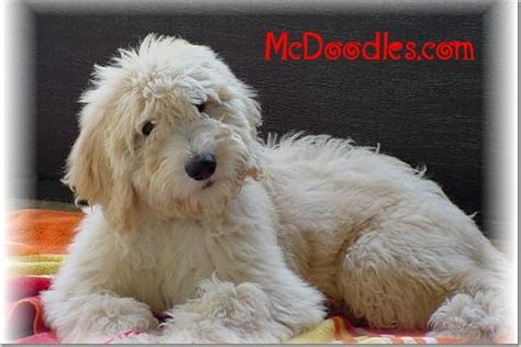 cheap goldendoodle puppies for sale goldendoodle puppies michigan puppies in mi breeds picture
