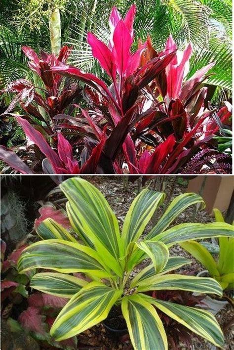 Daun Hanjuang jenis jenis dan macam macam tanaman hias part iv jual tanaman hias