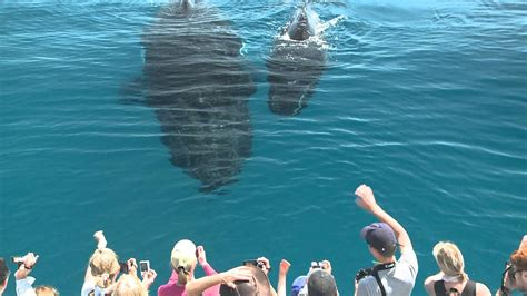 whale watching hervey bay youtube