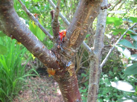 cherry tree insect disease ask an expert