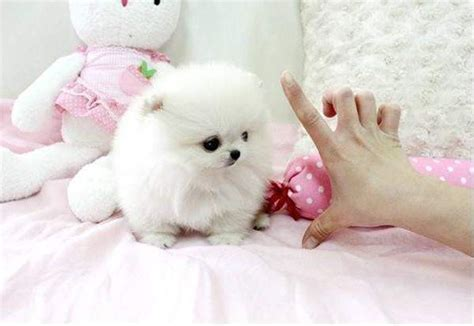 teacup pomeranian orlando sale california teacup puppies for sale california pomeranian teacup breeds picture