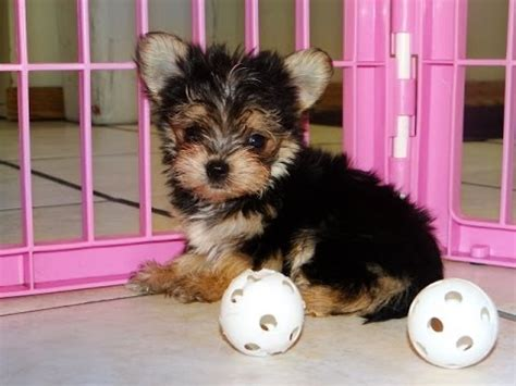 yorkie puppies for sale in raleigh nc puppyfinder morkies 6 weeks funnydog tv
