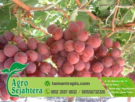Jual Bibit Anggur Dataran Tinggi jual bibit pohon anggur harga grosir