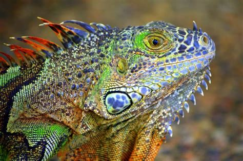colorful lizard images of colorful lizards www pixshark images