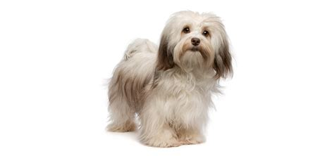 havanese health havanese insurance reviews and comparisons