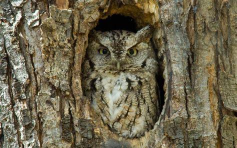 horned owl bird hd wallpapers for desktop best collection