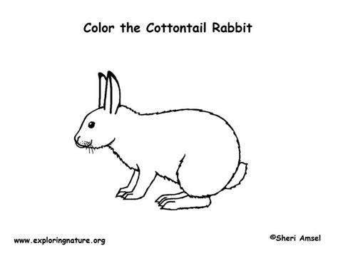 cottontail rabbit coloring page cottontail rabbit coloring page