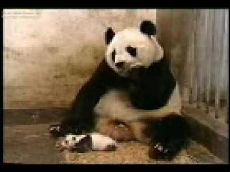 oso panda oso panda 0805087567 osos pandas graciosos youtube