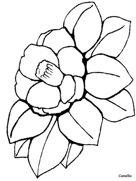 camellia flower coloring page camellia flowers coloring pages coloring book