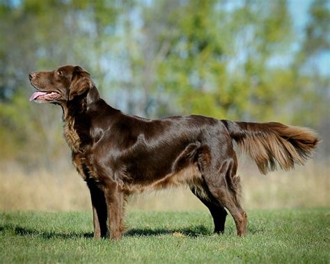 golden retriever coat stages le golden retriever de travail la belgique a du chien