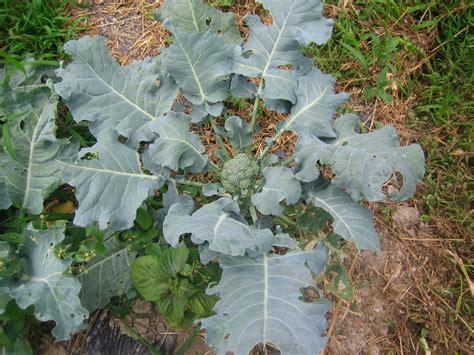 brokkoli garten brokkoli schmackhafte sprossen und k 246 pfchen aus dem
