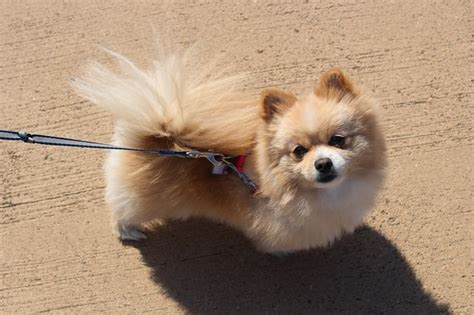 top pomeranian pomeranian news stories pictures products pomeranians home