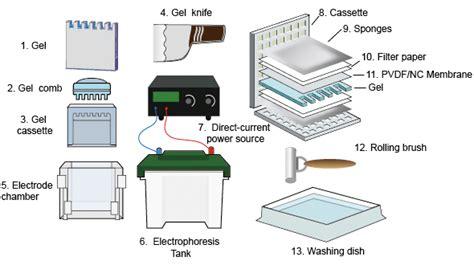western blot cassette the basis of western blot creative diagnostics