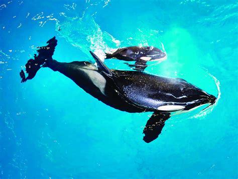 baby orca  killer whale  born   seaworld park