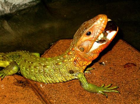 Caiman Lizard | Animal Wildlife